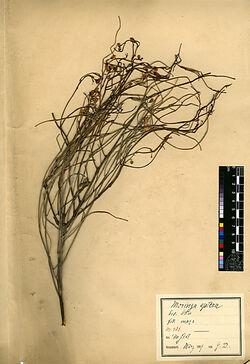 Moringa aptera, GARTN. Moringaceae