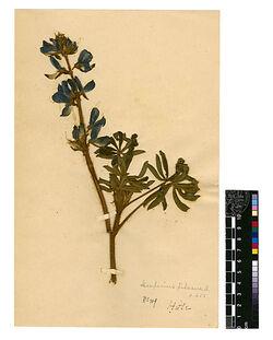 Lupinus pilosus, L. Leguminosae