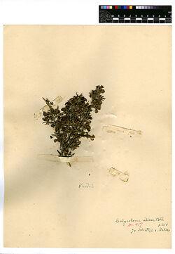 Calycotome villosa, (VAHL.), LINK. Leguminosae