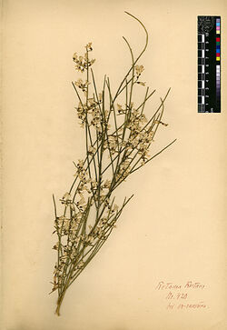 Retama Roetam, (FORSK.) WEBB. Leguminosae