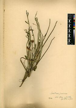Spartium junceum, L. Leguminosae
