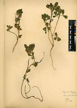 Trigonella Foenum-graecum, L. Leguminosae