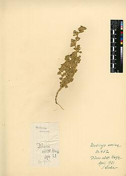 Medicago marina, L. Leguminosae