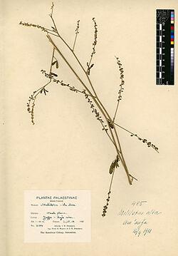 Melilotus alba, DESF. Leguminosae