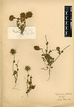 Trifolium stellatum, L. Leguminosae