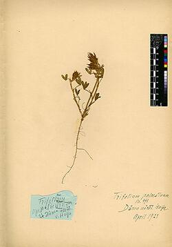 Trifolium palaestinum, BOISS. Leguminosae