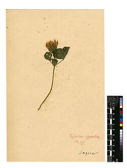 Trifolium clypeatum, L. Leguminosae