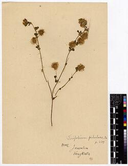 Trifolium piluare, BOISS. Leguminosae