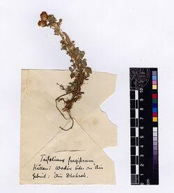 Trifolium fragiferum, L. Leguminosae