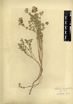 Lotus commutatus, GUESS. (L. creticus, L., v. genuinus, BOISS.). Leguminosae