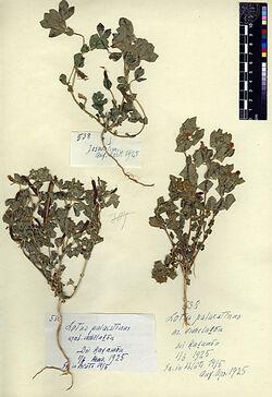 Lotus palaestinus, (BOISS.) = Tetragonolobus purpureus, MOENCH, v. palaestinus, POST. Leguminosae