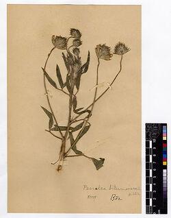 Psoralea bituminosa, L. Leguminosae
