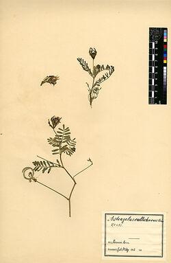 Astragalus callichrous, BOISS. Leguminosae