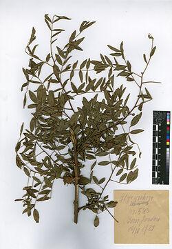 Glycyrrhiza gabra, L. Leguminosae