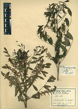 Glycyrrhiza gabra, v. violacea, BOISS. Leguminosae