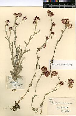 GDIh0424; Helichrysum sanguineum, (L.).; Helichrysum sanguineum, Blutrote Strohblume