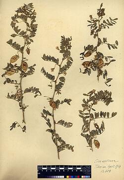 Cicer arietinum, L. Leguminosae