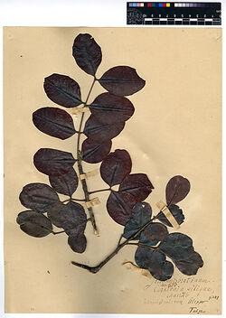 Ceratonia Siliqua, L. Leguminosae