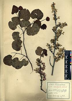 Cericis Siliquastrum, L. Leguminosae