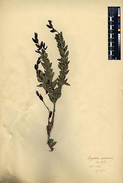 Myrtus communius, L. Myrtaceae