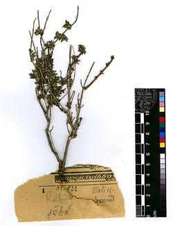 Rubia tinctorum, L. Rubiaceae