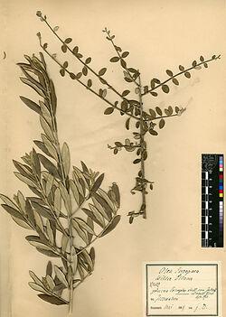 Olea europaea, L. Oleaceae