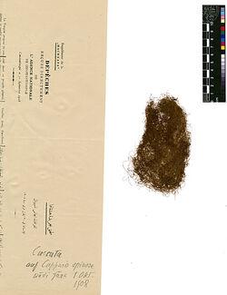 Cuscuta Epilium, WEIHE. Convolvuaceae