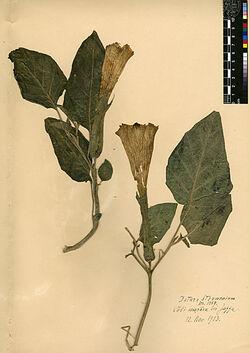 Datura Stramonium, L. Solanaceae
