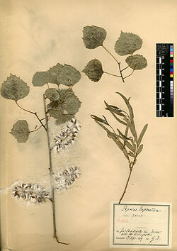 Populus euphratica, OLIV. Salicaceae