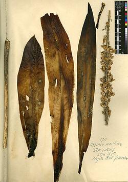 Urginea maritima, L. Liliaceae