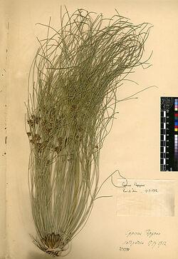 Cyperus Papyrus, L. Cyperaceae