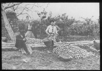 Glasplattendia Jaffa, Apfelsinenernte 1912