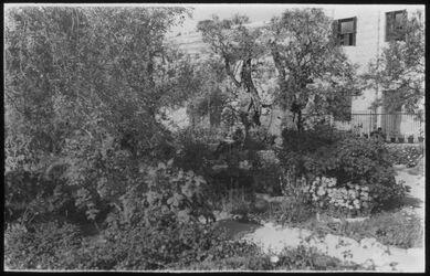 Glasplattendia Ölbäume in Gethsemane [Jerusalem]