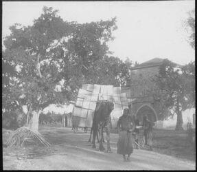 Glasplattendia Sykomore u. Kamel mit Apfelsinenkisten, Jaffa [Tel Aviv]