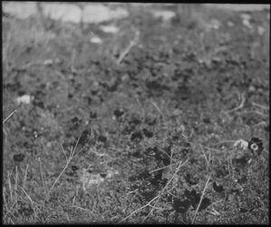 Glasplattendia Anemonen, Judäa