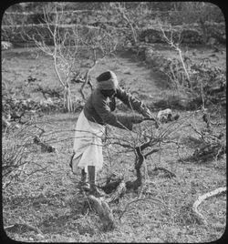 H XVIII 4; Glasplattendia; pruning vines [Weinstöcke]