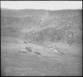 Glasplattendia Herde im wadi sir [Wadi as-sir]