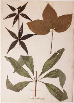 Folia verticillata Folia verticillata