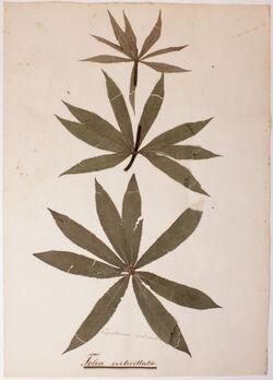 Folia verticillata