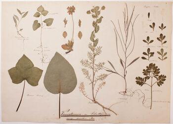 Variationen in den Blattformen längs derselben Axe