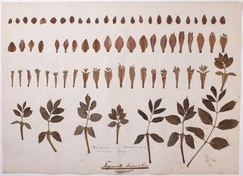 Tegmenta gemmarum Tegmenta Fraxini Orni / petiolacea