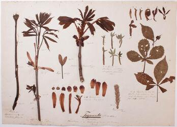 Tegmenta gemmarum Tegmenta (Niederblätter) / Variationen in der Blattbildung an ein und derselben Pflanze