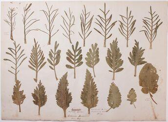 Folia vegionis inferioris Niederblätter einjähriger Sprossen von cochlearia armoracia / Variationen in der Blattbildung derselben Pflanze