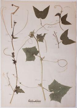Cirrhi foliares / Blätter ind Rankenform