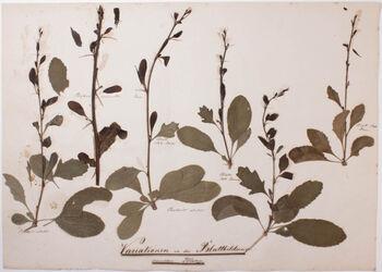 Folia diversiformia Variationen in der Blattbildung derselben Pflanze
