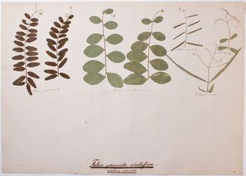 Folia cirrhose-pinnata Folia pinnata-cirrhifera / cirrhose pinnata