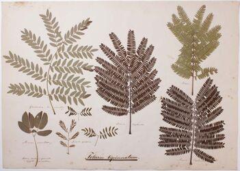 Folium bipinnatum