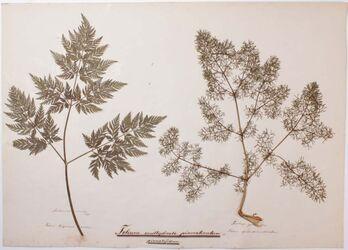 Folium multiplicato-pinnatisectum Folium multiplicato-pinnatisectum / pinnatifidum