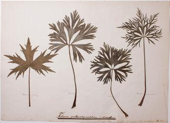Folium palmatipartitum & dissectum Folium palmatipartitum & dissectum
