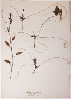 Cirrhi stipulares Cirrhi stipulares / Nebenblätter in Rankenform
